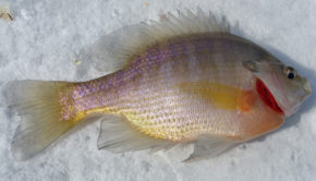 Catch panfish cold days