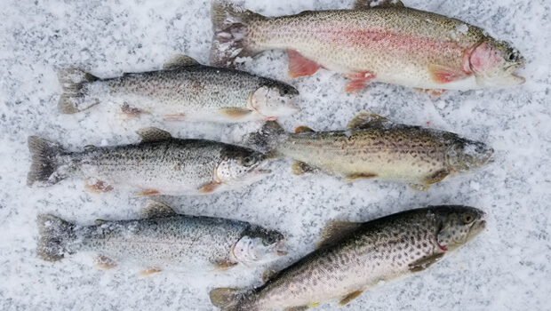 catch trout ice fishing