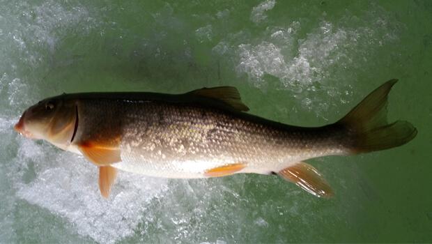white sucker ice fishing